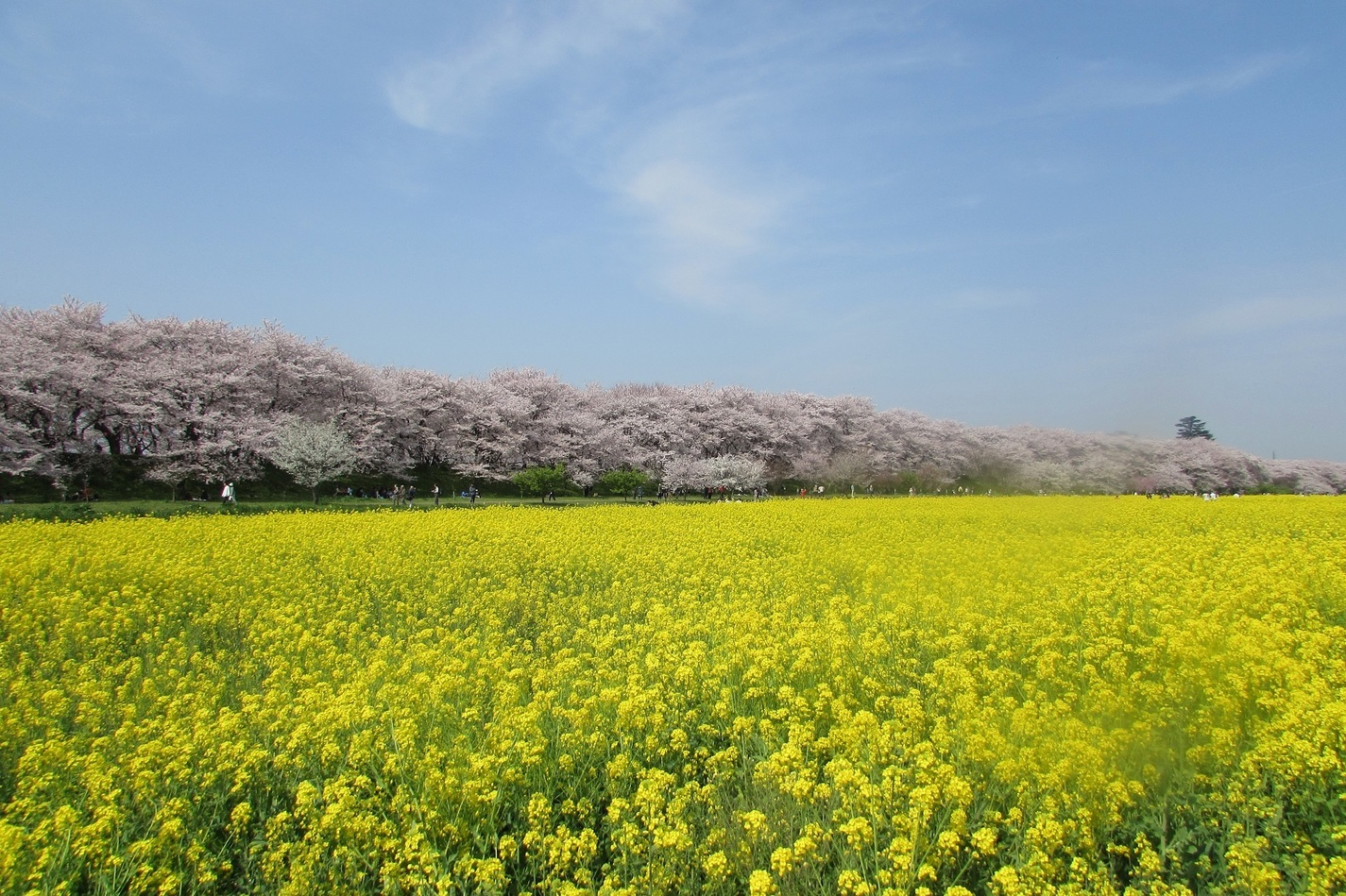 Satte Gongendo's bank of cherry trees
