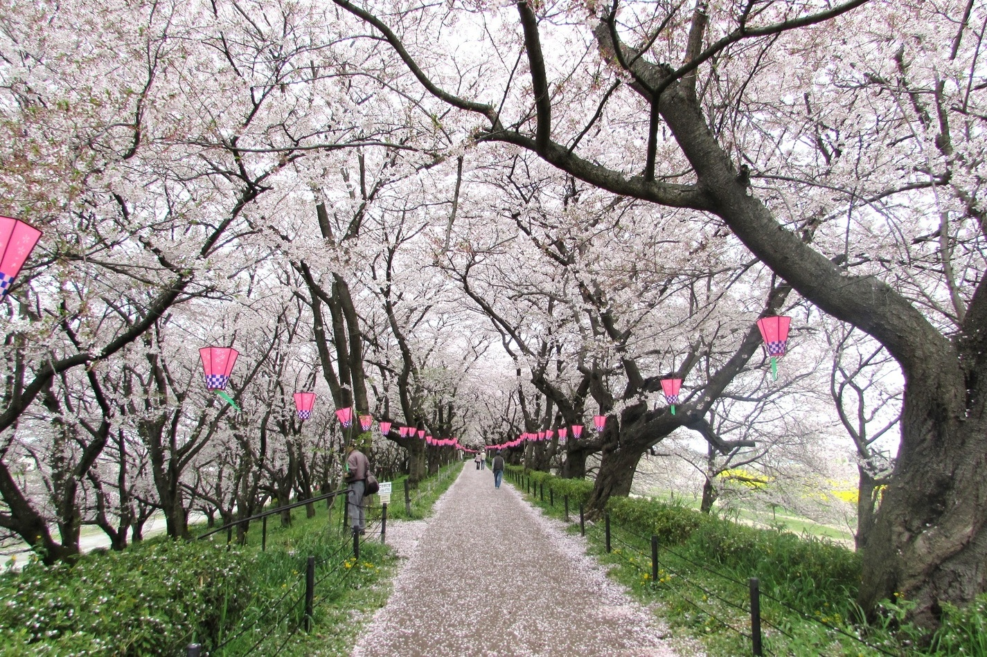 Satte Gongendo's bank of cherry trees