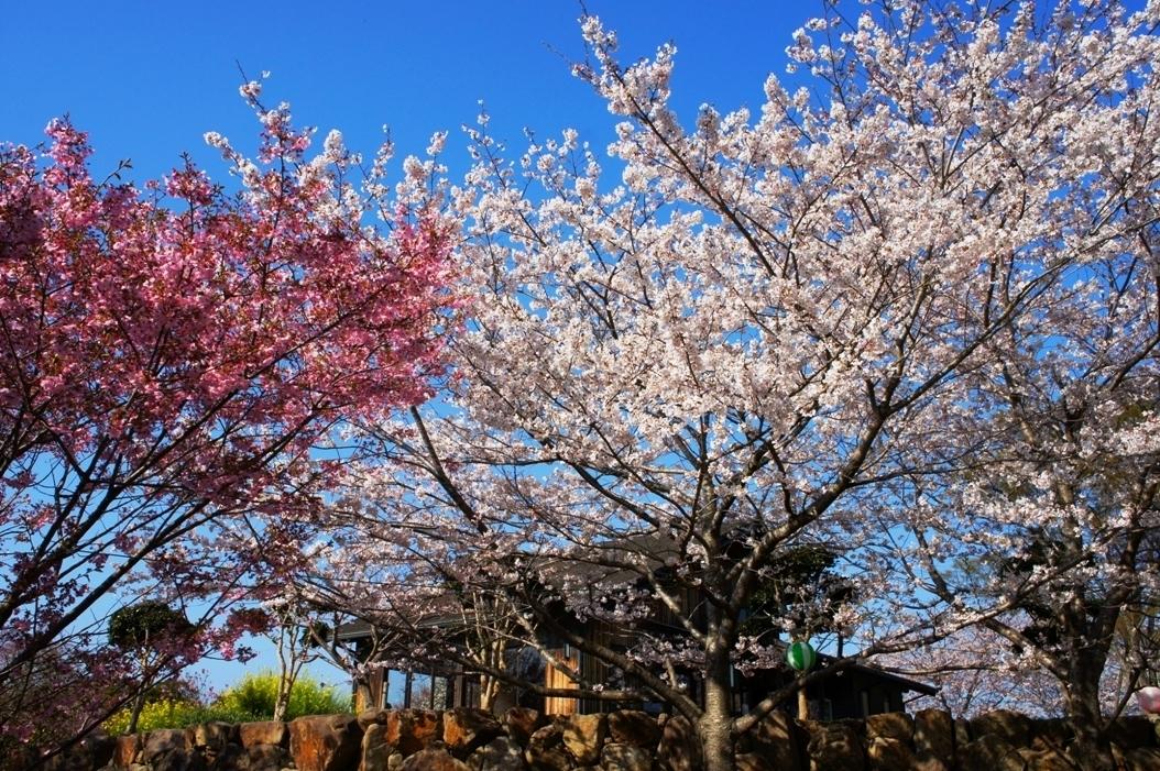 Cherry Blossoms in Yokoyama
