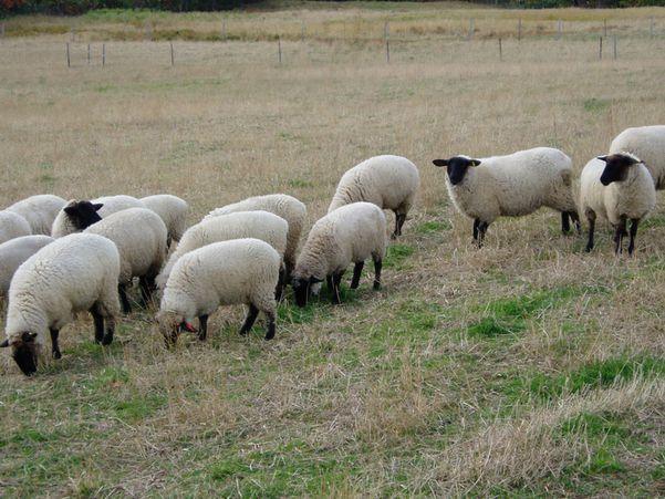Takigawa city's Sheep