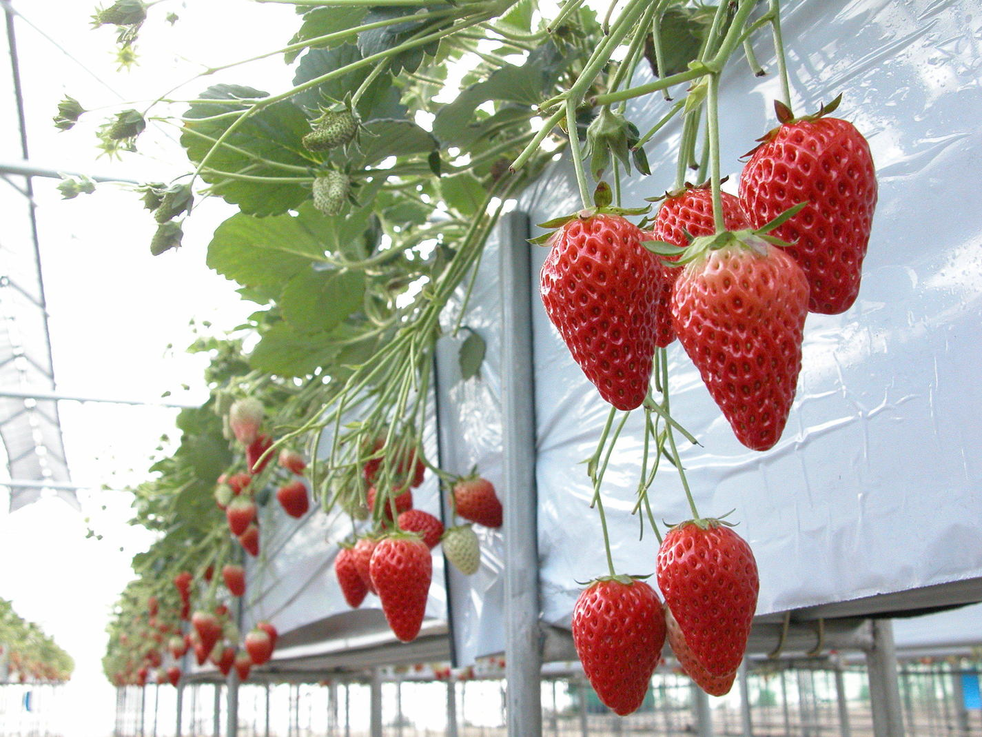 Strawberry Picking(Kofu City)