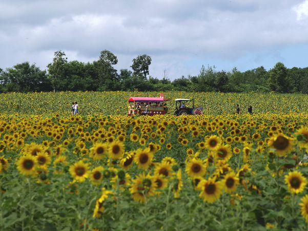 Hokuryu town Sun flower village