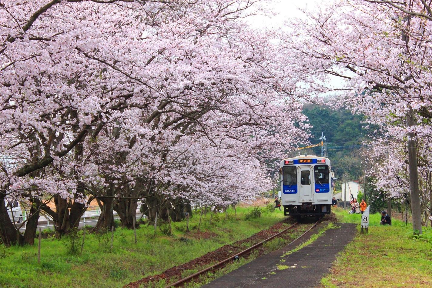 Uranosaki Station, Cherry blossom train.