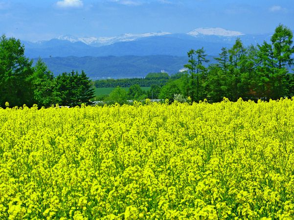Takigawa city field mustard