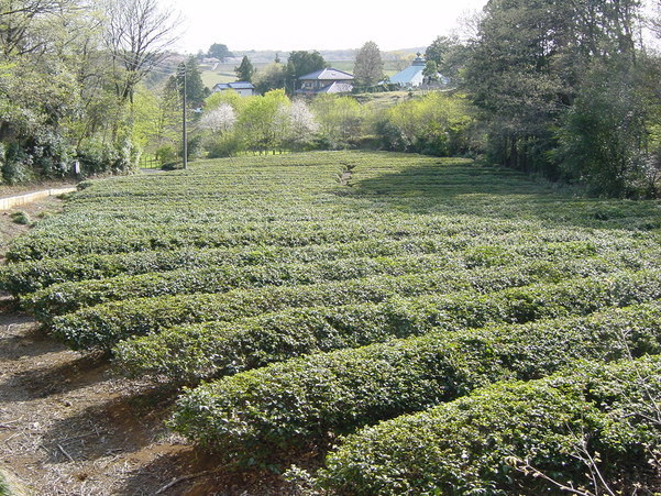 Sayama Tea Field