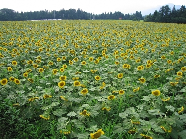 Tsunan Town Sunflower