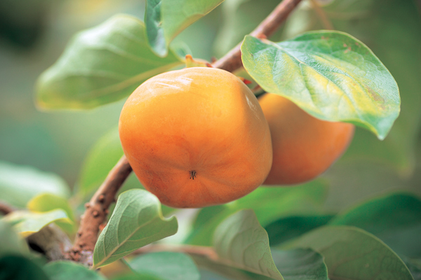 Sweet Persimmon (Toyohashi City)