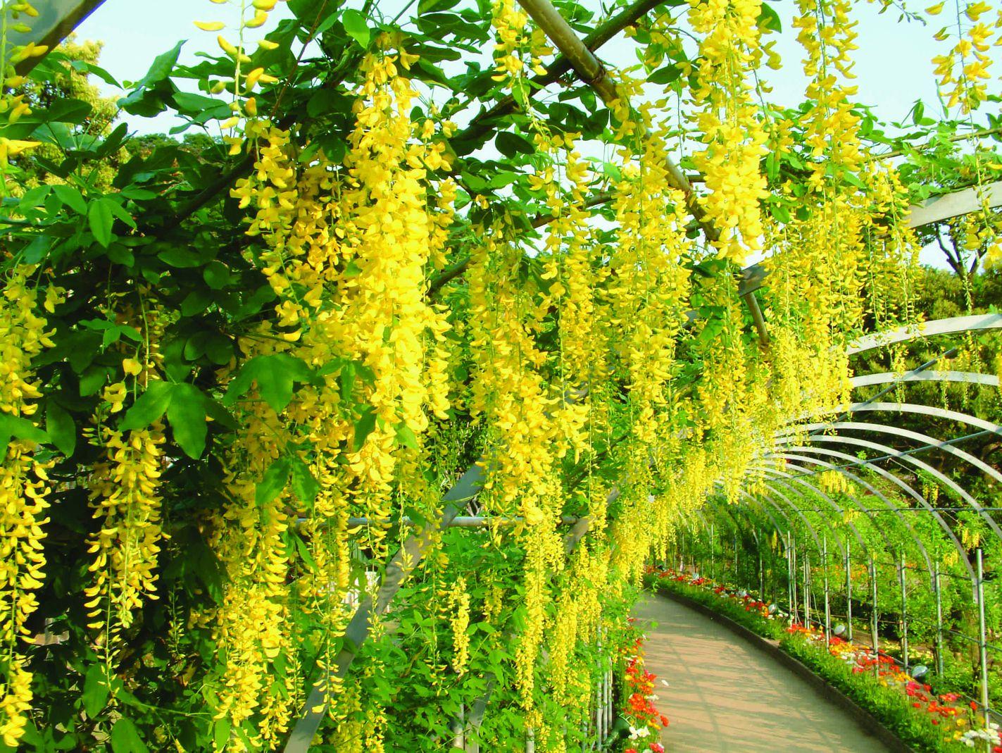 Kibana wisteria In Ashikaga Flower Park