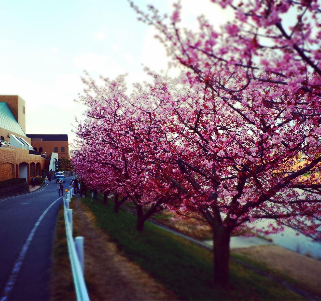 Cherry blossom (Aoi Sakura)