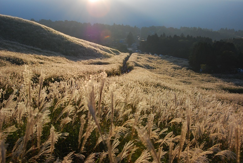 Silver Grass Fields