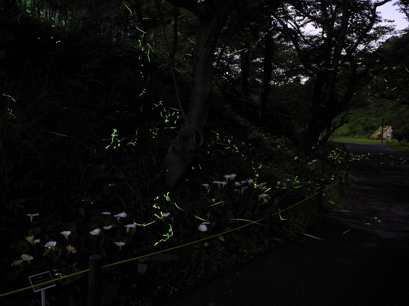 firefly appreciation tour shizuoka japan timeline see what is